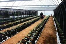 Green house drip irrigation Cucumber Trial